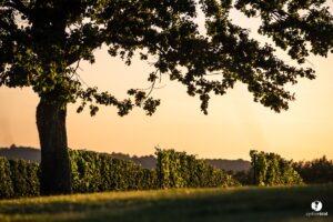 les landes, tursan wijnstokken