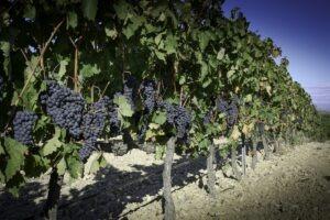 Rioja tempranillo druif Halfes kleine flessen Spaanse rode wijn witte rosé