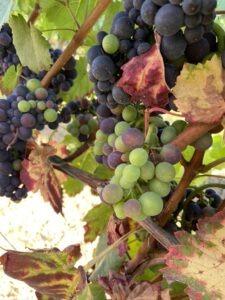 wijngaard sina mertz