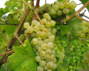 Wijngaard witte druiven Nederland