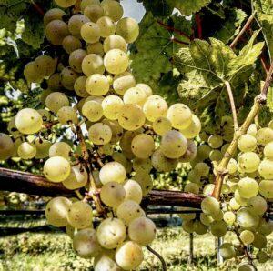 Nederlandse wijn Gelderland johanniter wijngaard Ludique