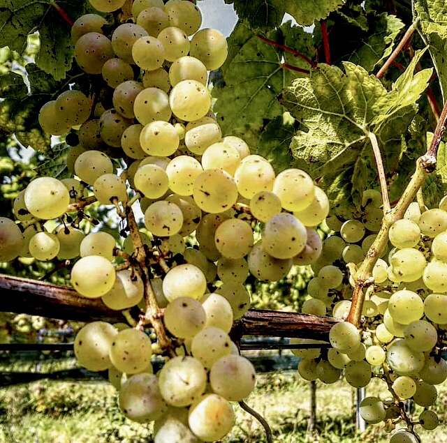 Nederlandse wijn Gelderland johanniter wijngaard Ludique Halfes kleine fles wijn 375ml