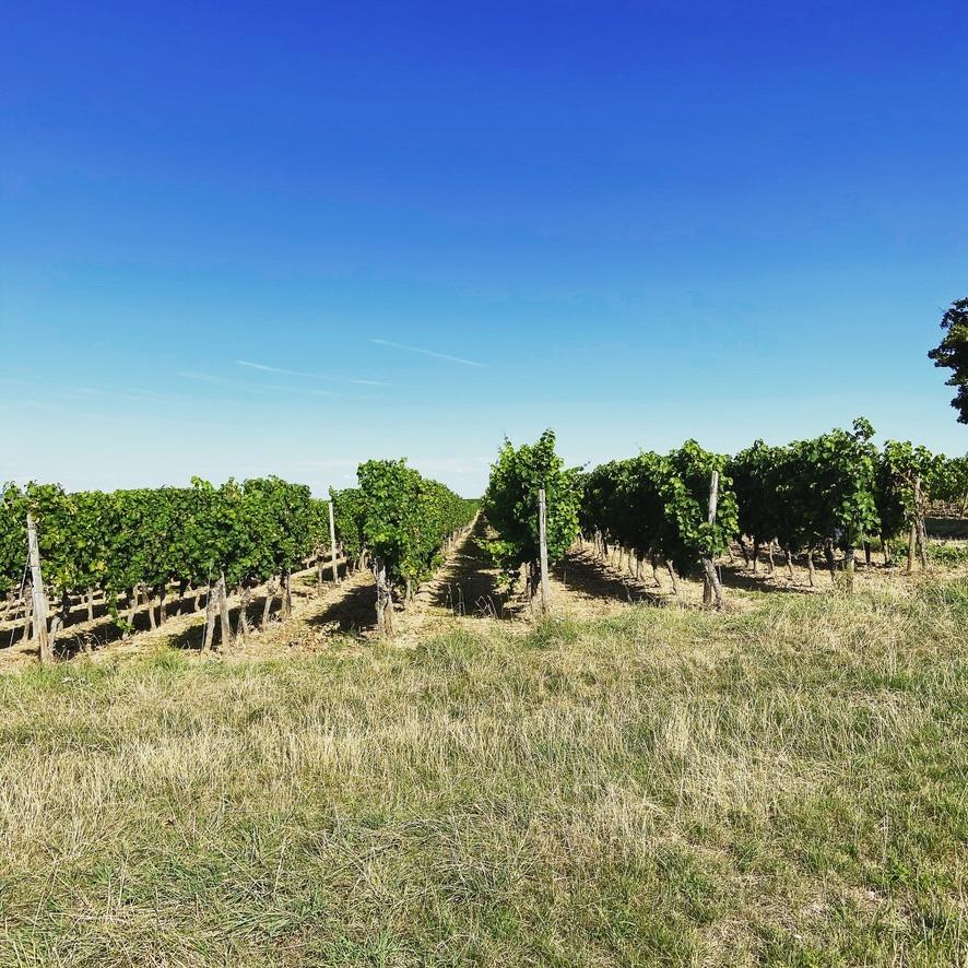 Rheinhessen wijngaard