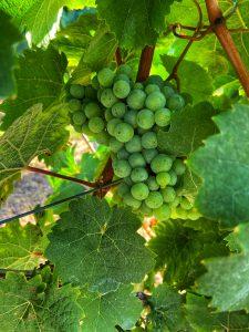 rieslingdruiven druiven wijn