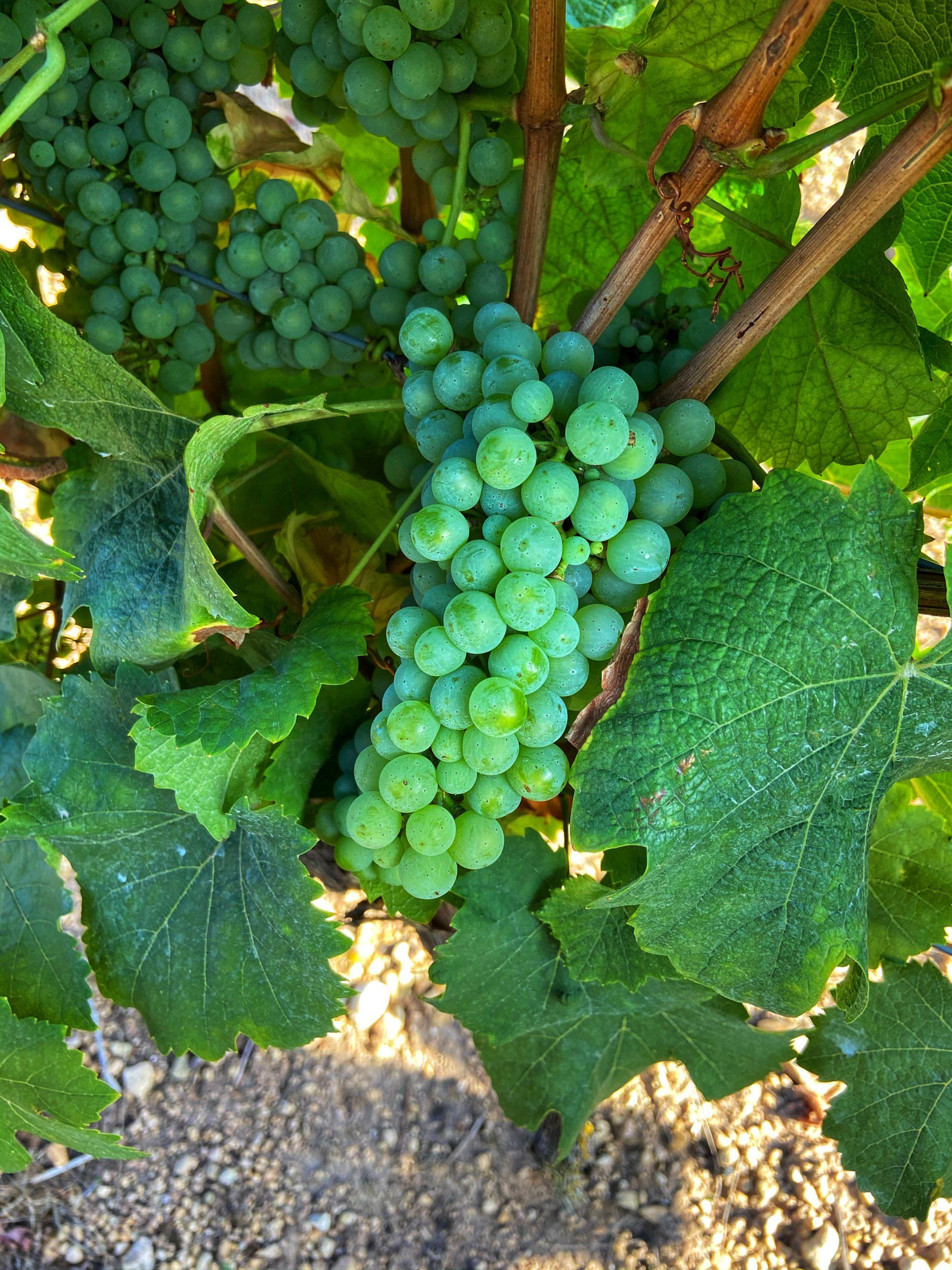 Riesling Sina Mertz druiven wijn