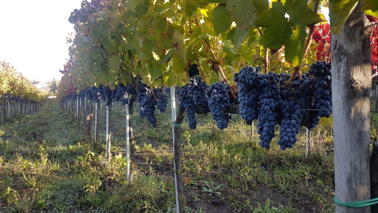 Piedirosso wijn Italie