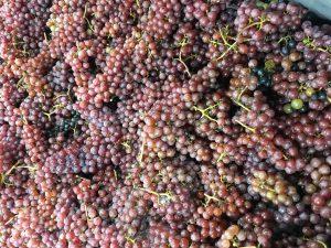 Nederlandse druiven