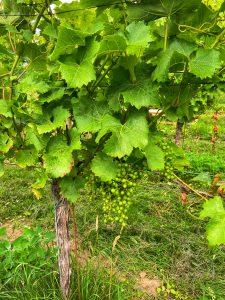 Pinotin druiven Colonjes