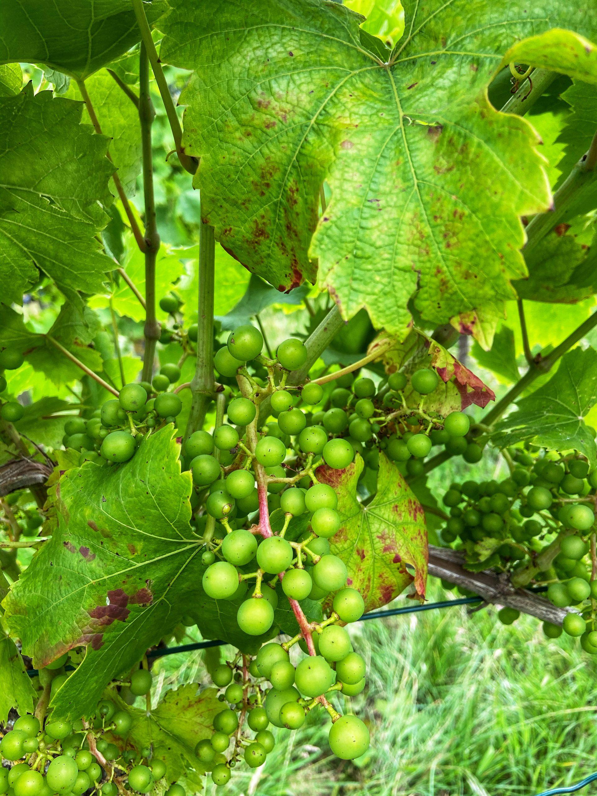 Blauwe druif pinotin wijn