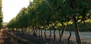 Uruguayaanse wijngaard tannat Castillo Viejo