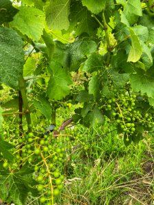 cabernet blanc druiven Nederlandse wijn
