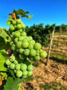 druiven scheurebe Duitsland witte wijn