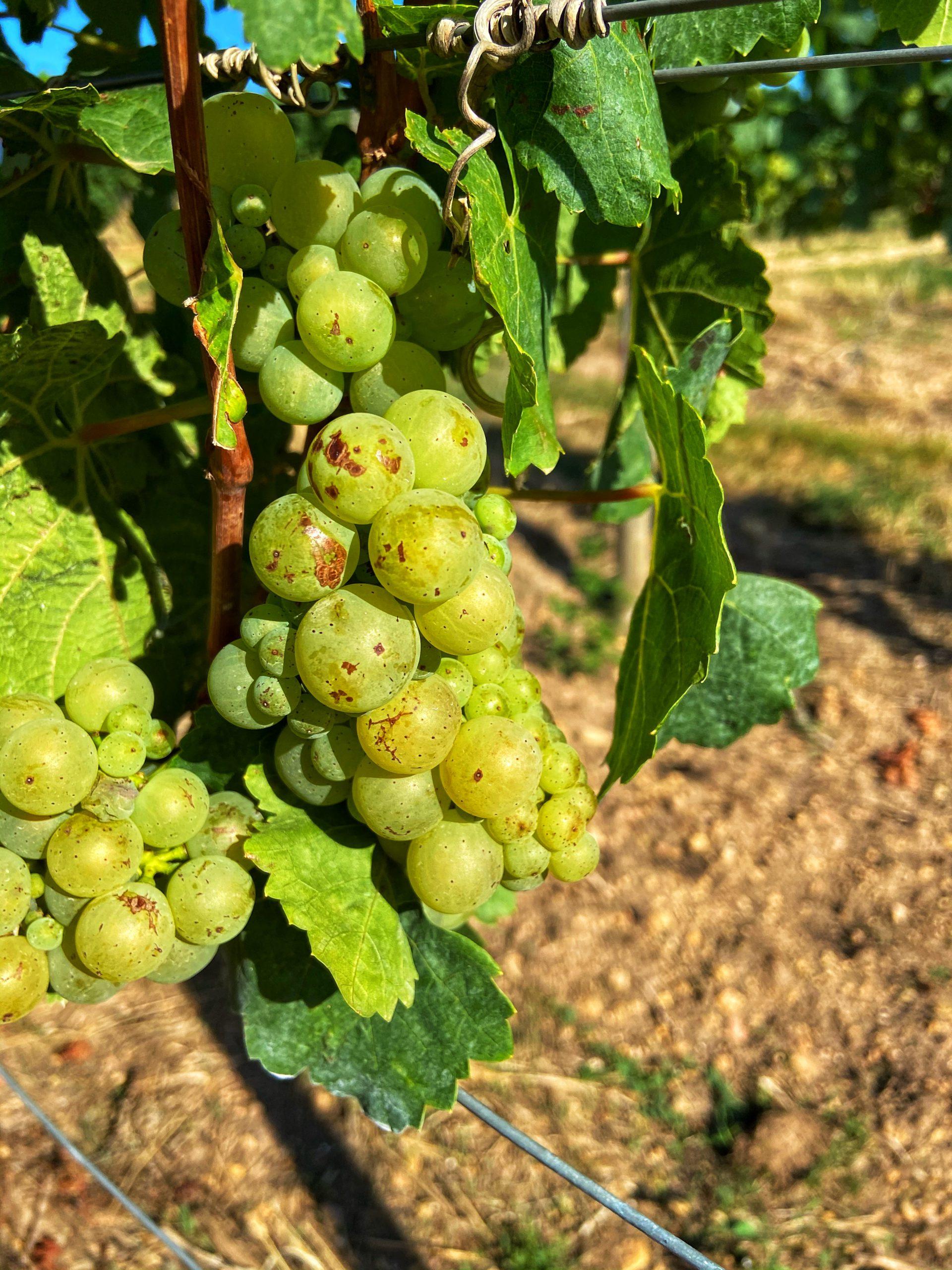Rheinhessen Scheurebe druiven