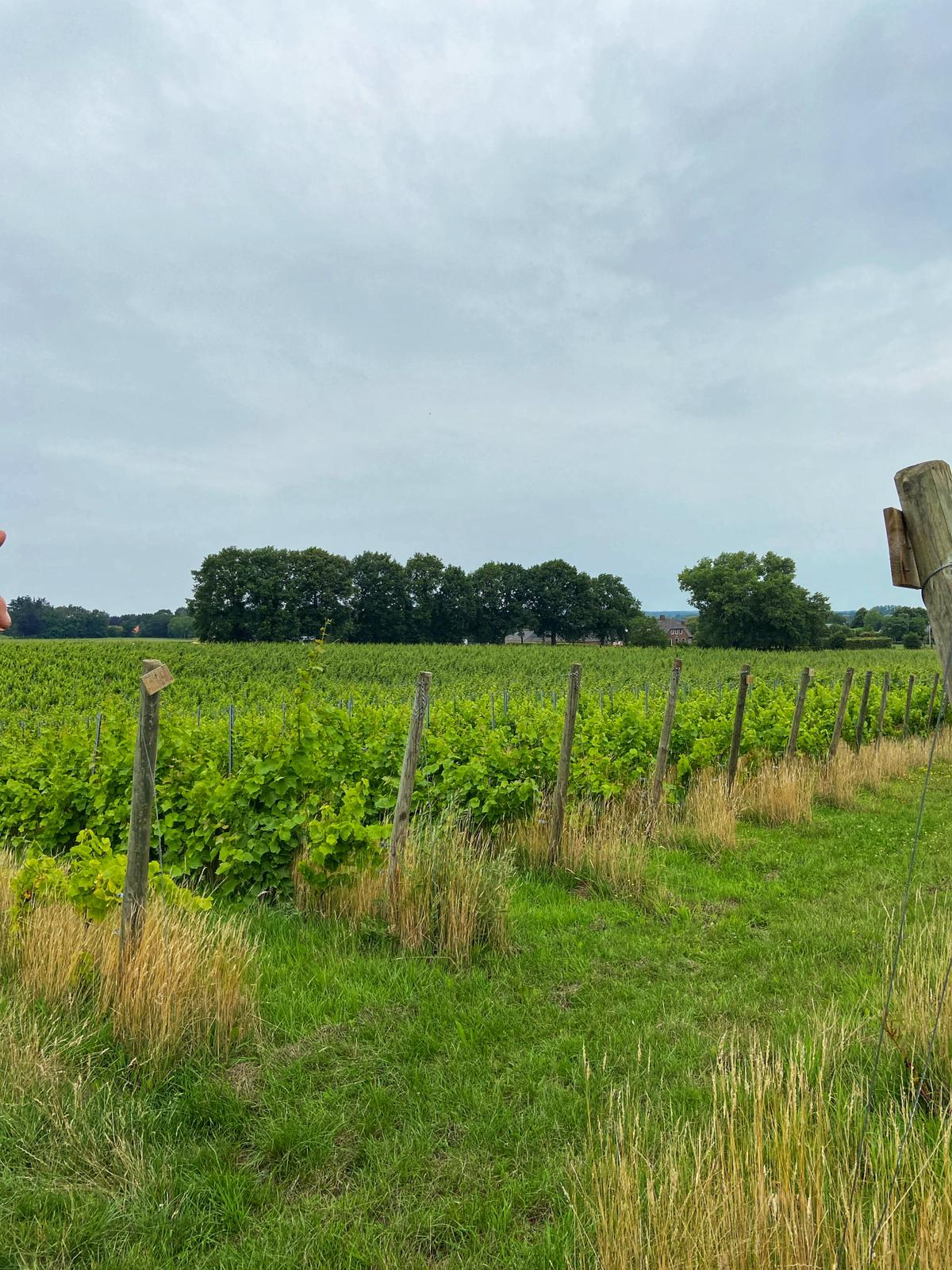 Nederlandse wijngaard