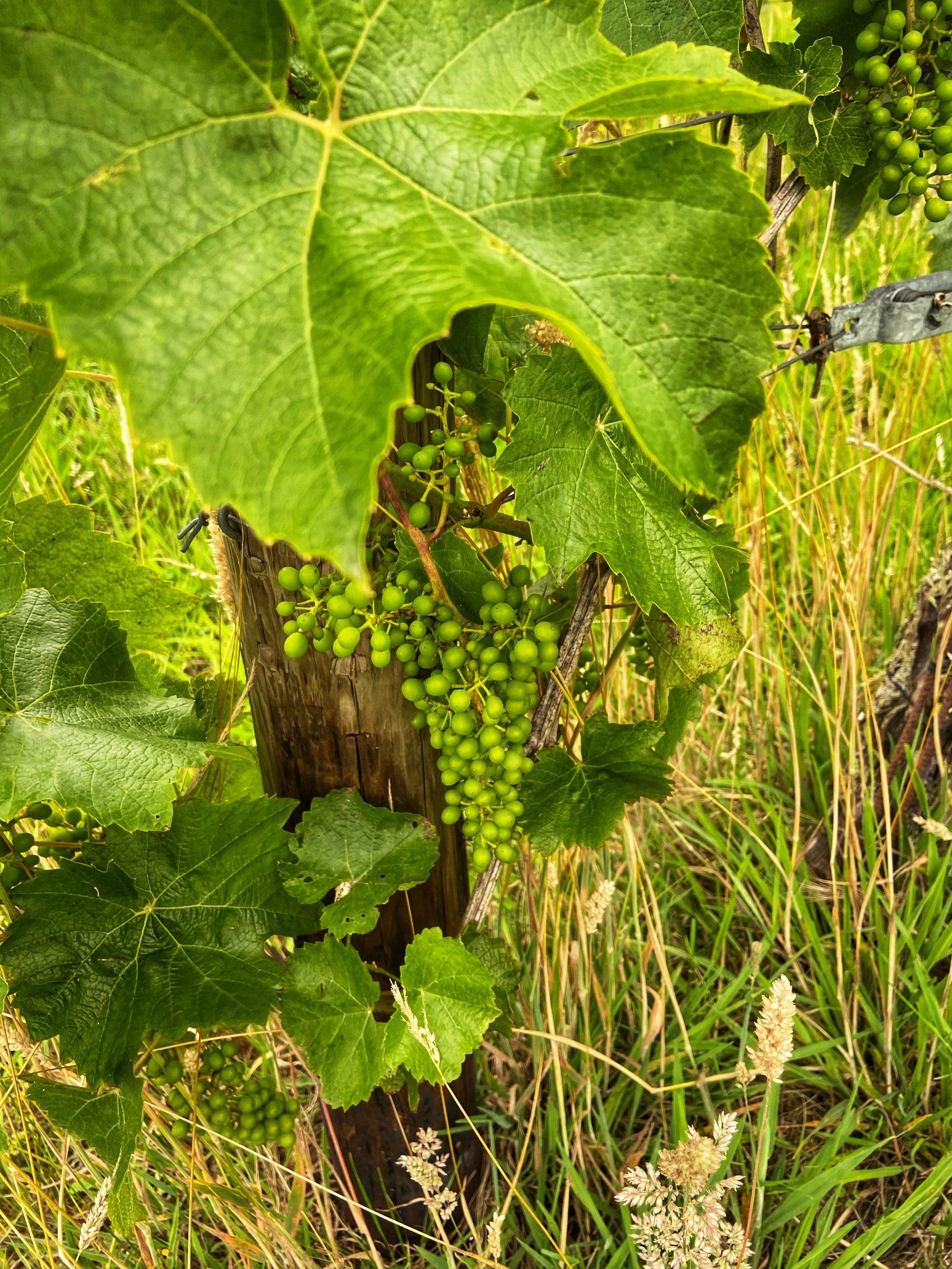Heliosdruif wijn Halfes