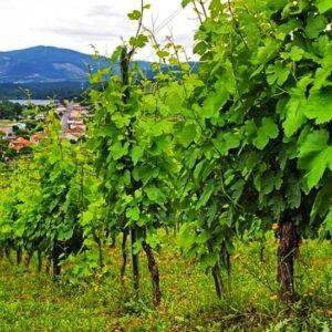 Witte wijn treixadura Galicië
