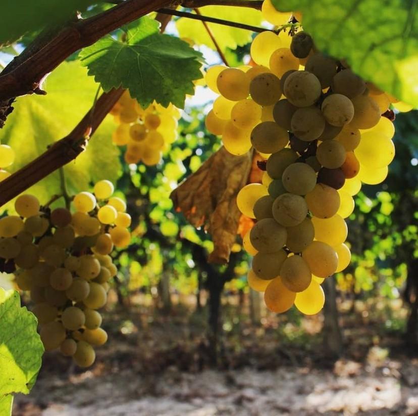 treixadura wijn druif Spanje