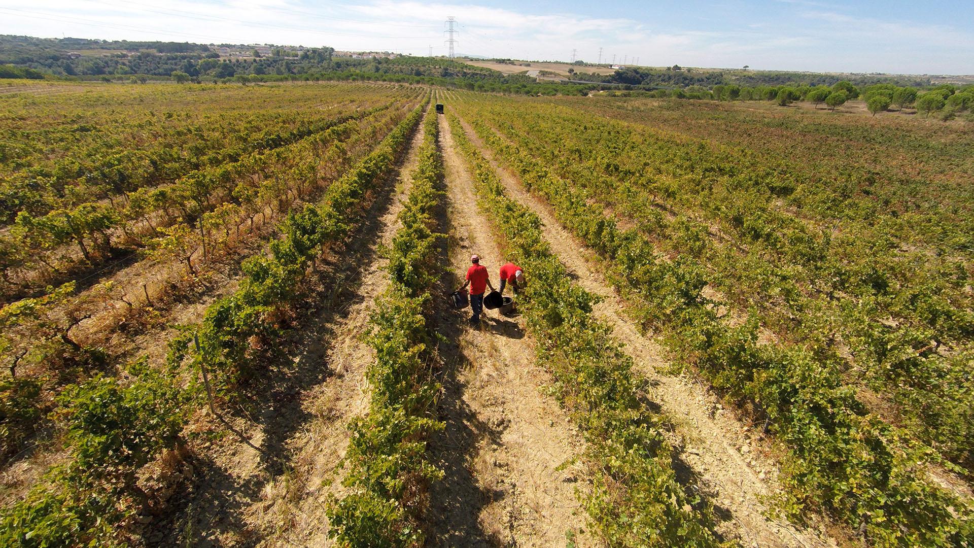 Wijngaard Portugal kleine fles wijn